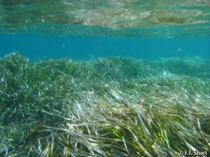 Posidonia-oceanica-Neptune-Grass1