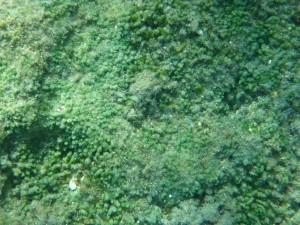chloro algae